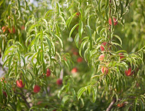 Cómo elegir la mejor variedad de árbol frutal para su plantación
