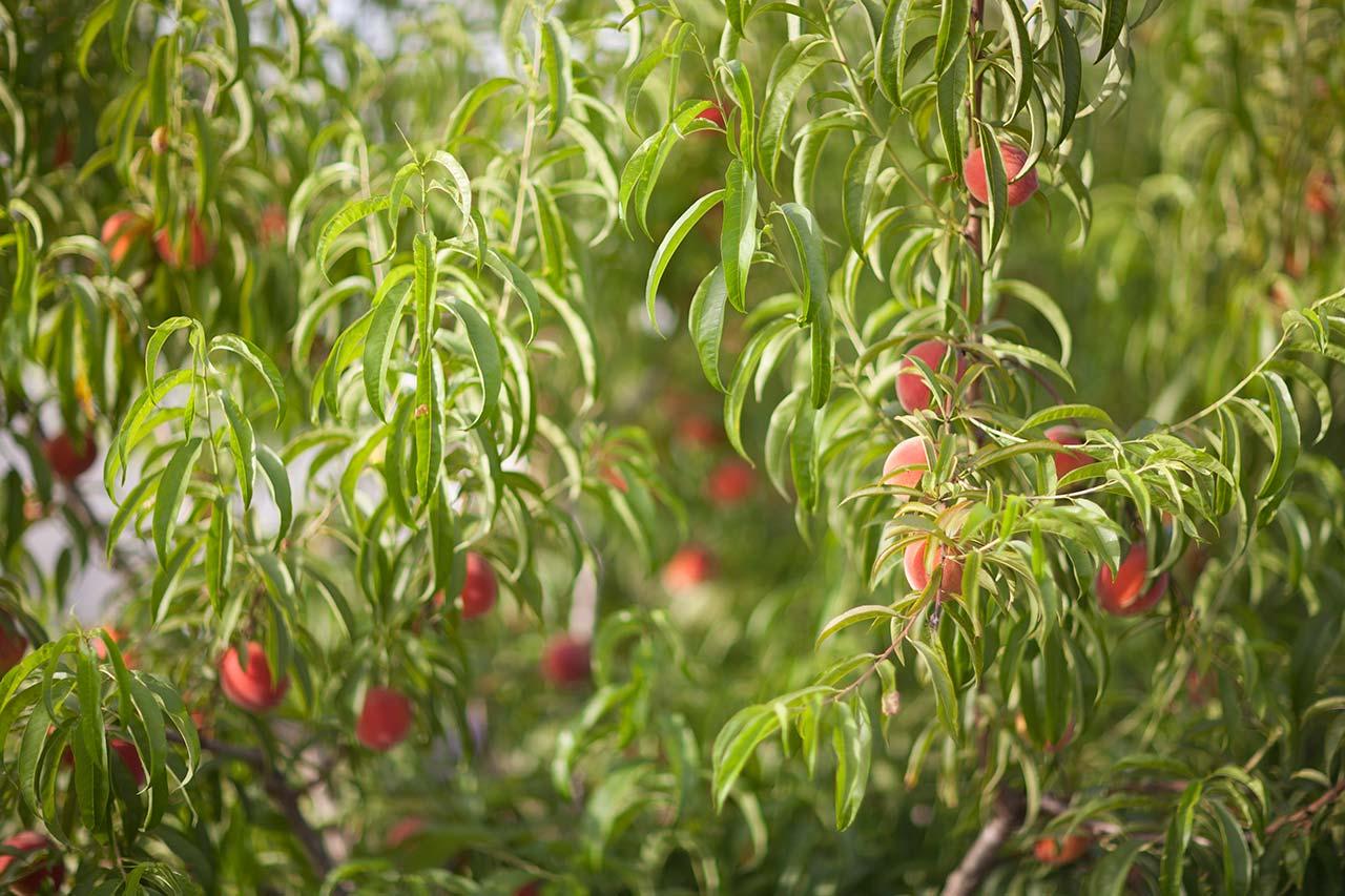 Cómo elegir la mejor variedad de árbol frutal