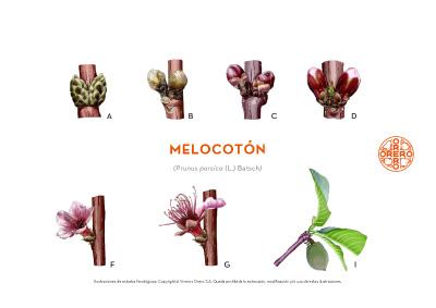 Información sobre tratamientos fitosanitarios del Melocotón
